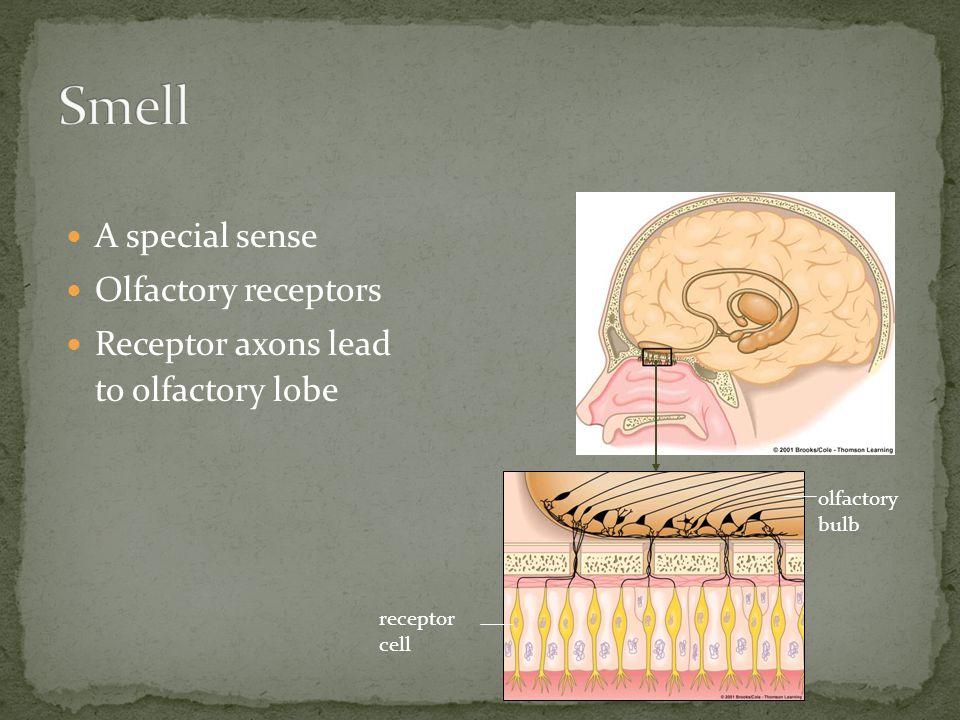 A special sense Olfactory receptors Receptor axons lead to olfactory lobe olfactory bulb receptor cell