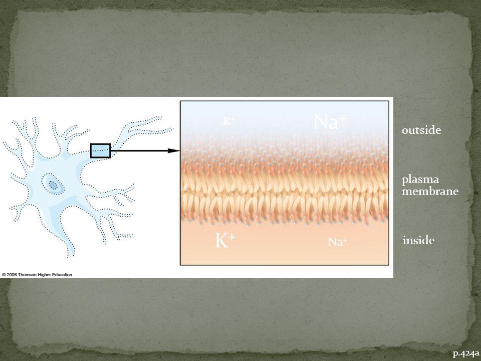 outside plasma membrane inside K+K+ K+K+ Na + p.424a