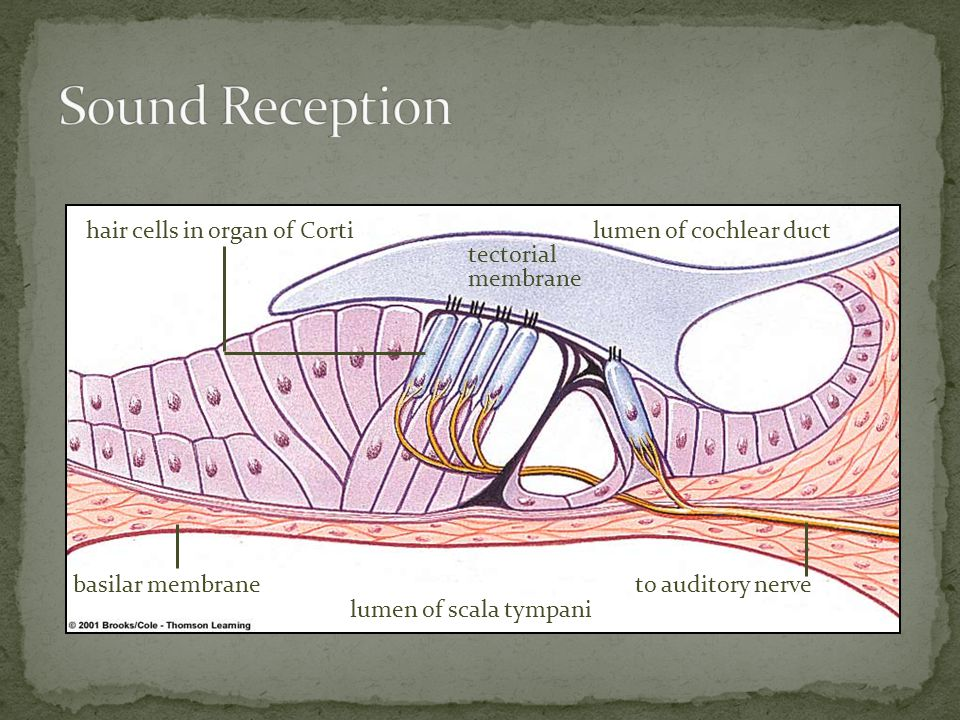 hair cells in organ of Corti tectorial membrane lumen of cochlear duct basilar membrane lumen of scala tympani to auditory nerve