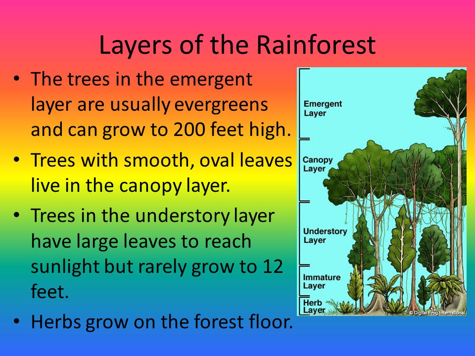 Layers of the Rainforest The trees in the emergent layer are usually evergreens and can grow to 200 feet high. Trees with smooth, oval leaves live in