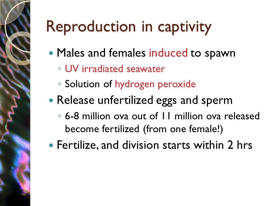 Reproduction in captivity Males and females induced to spawn ◦ UV irradiated seawater ◦ Solution of hydrogen peroxide Release unfertilized eggs and sperm ◦ 6-8 million ova out of 11 million ova released become fertilized (from one female!) Fertilize, and division starts within 2 hrs