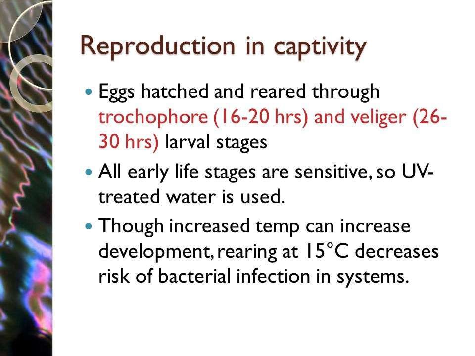 Reproduction in captivity Eggs hatched and reared through trochophore (16-20 hrs) and veliger (26- 30 hrs) larval stages All early life stages are sensitive, so UV- treated water is used.