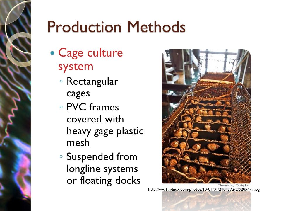 Production Methods Cage culture system ◦ Rectangular cages ◦ PVC frames covered with heavy gage plastic mesh ◦ Suspended from longline systems or floating docks http://ww1.hdnux.com/photos/10/01/01/2101372/5/628x471.jpg