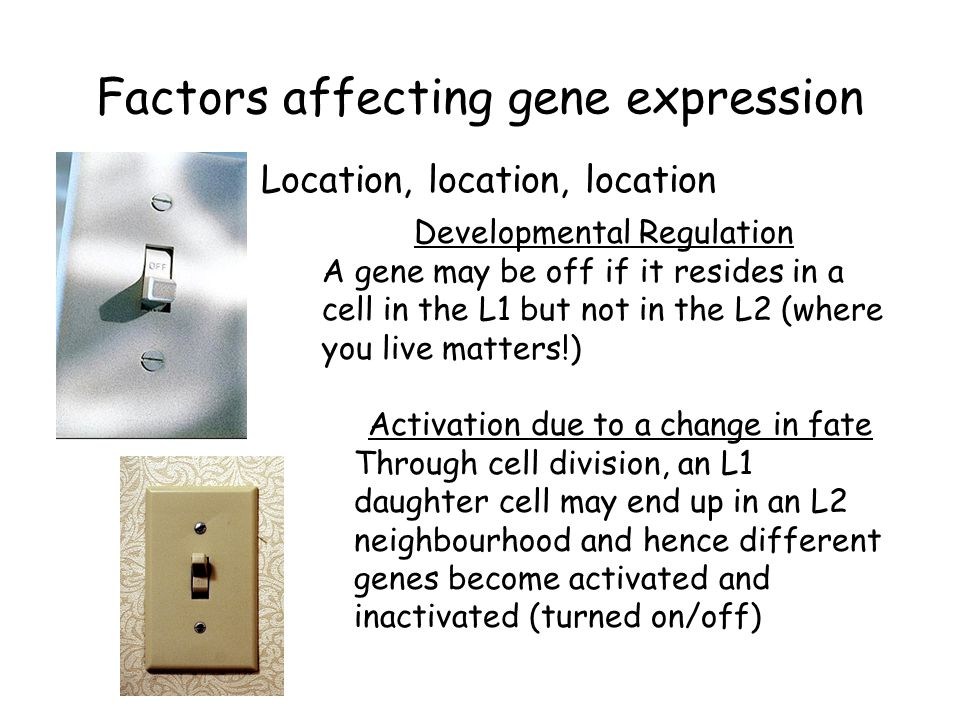 Factors affecting gene expression Location, location, location Developmental Regulation A gene may be off if it resides in a cell in the L1 but not in the L2 (where you live matters!) Activation due to a change in fate Through cell division, an L1 daughter cell may end up in an L2 neighbourhood and hence different genes become activated and inactivated (turned on/off)