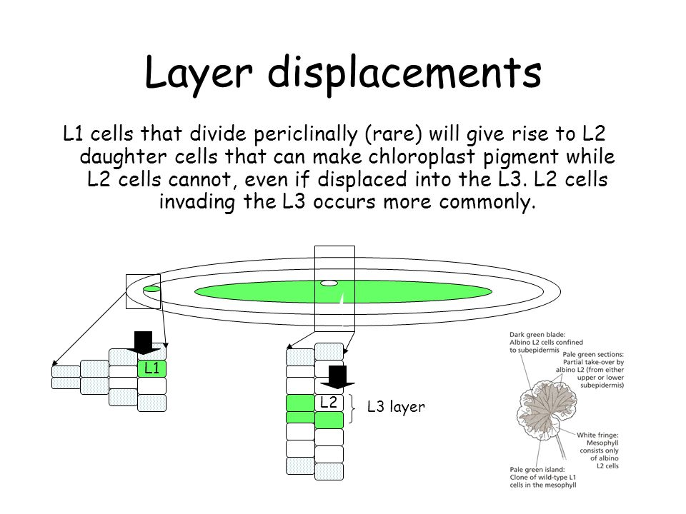 Layer displacements L1 cells that divide periclinally (rare) will give rise to L2 daughter cells that can make chloroplast pigment while L2 cells cannot, even if displaced into the L3.