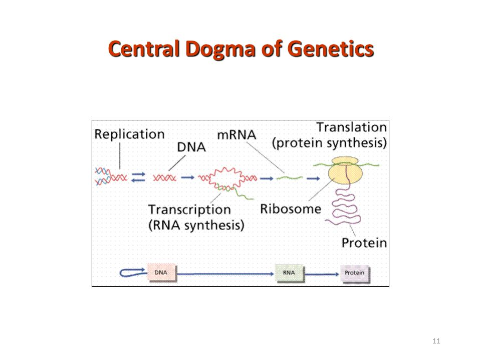 11 Central Dogma of Genetics