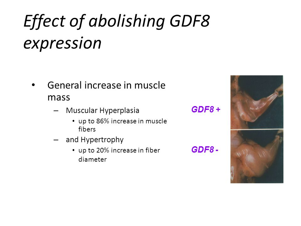 General increase in muscle mass – Muscular Hyperplasia up to 86% increase in muscle fibers – and Hypertrophy up to 20% increase in fiber diameter GDF8