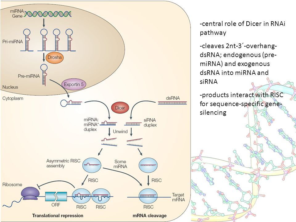 -central role of Dicer in RNAi pathway -cleaves 2nt-3´-overhang- dsRNA; endogenous (pre- miRNA) and exogenous dsRNA into miRNA and siRNA -products int