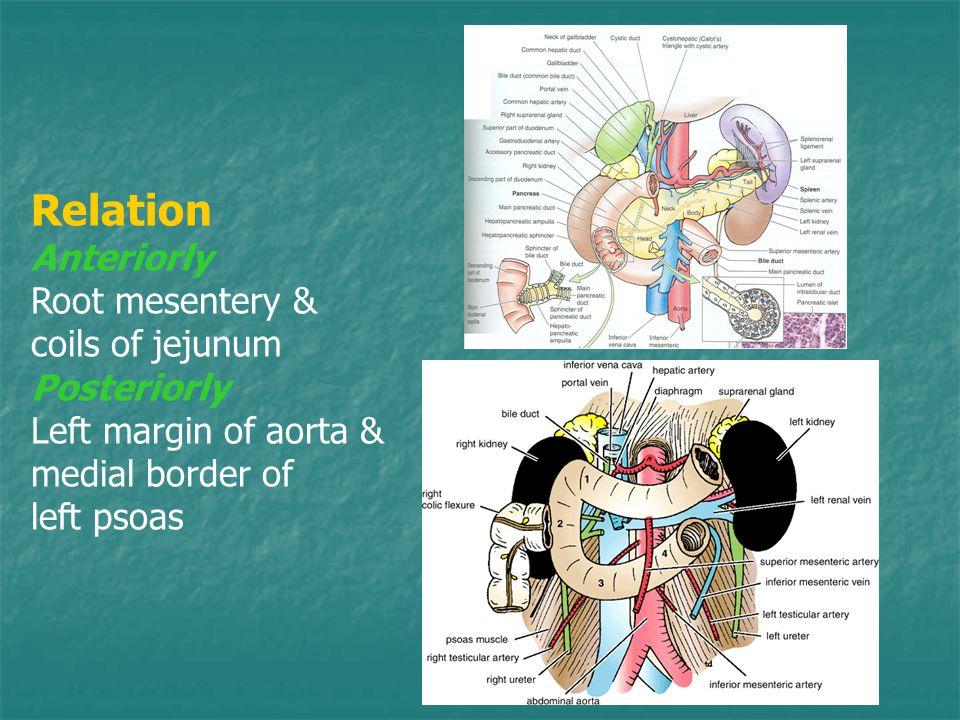 Relation Anteriorly Root mesentery & coils of jejunum Posteriorly Left margin of aorta & medial border of left psoas