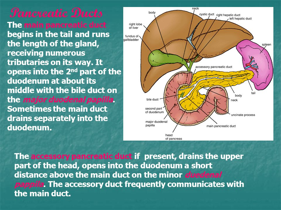 The main pancreatic duct begins in the tail and runs the length of the gland, receiving numerous tributaries on its way.