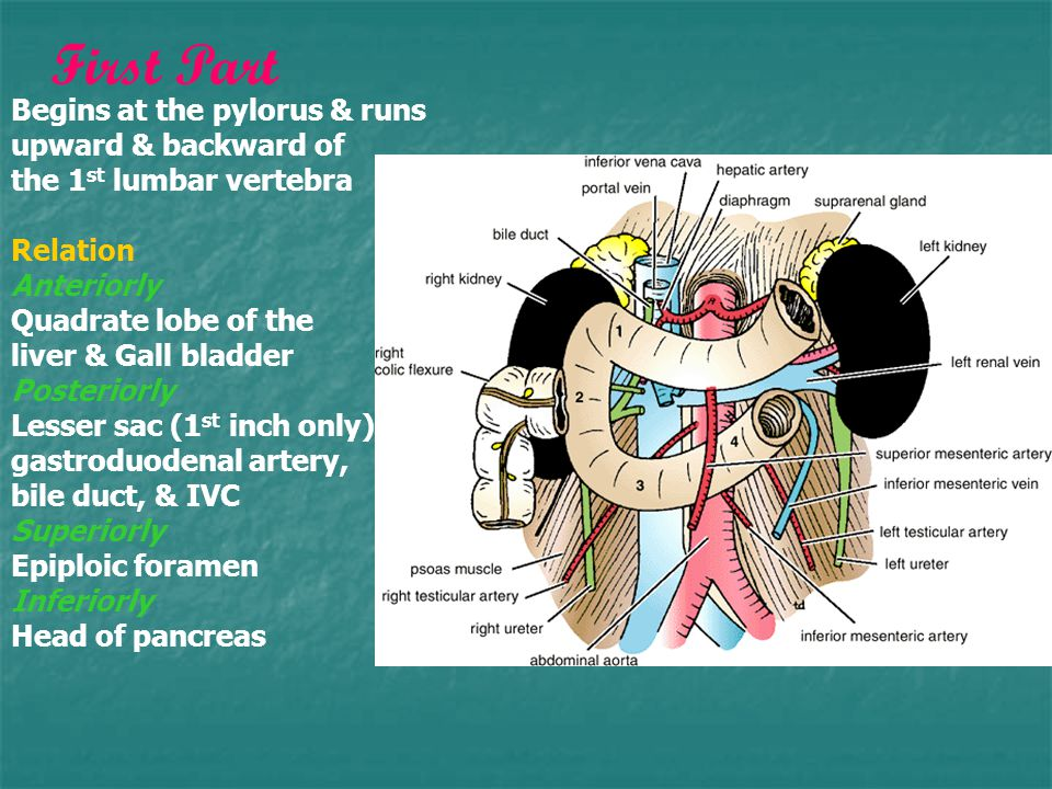 Begins at the pylorus & runs upward & backward of the 1 st lumbar vertebra Relation Anteriorly Quadrate lobe of the liver & Gall bladder Posteriorly Lesser sac (1 st inch only) gastroduodenal artery, bile duct, & IVC Superiorly Epiploic foramen Inferiorly Head of pancreas First Part