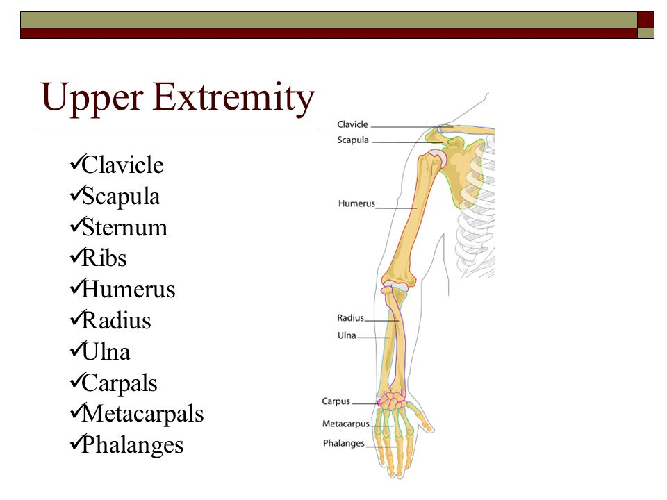 Upper Extremity Clavicle Scapula Sternum Ribs Humerus Radius Ulna Carpals Metacarpals Phalanges