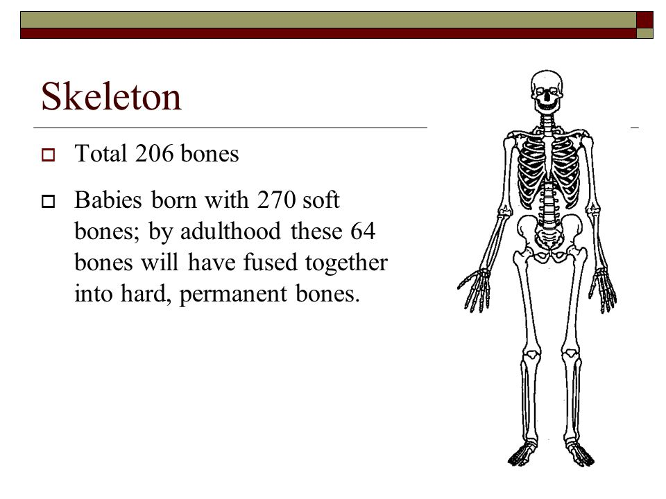 Skeleton  Total 206 bones  Babies born with 270 soft bones; by adulthood these 64 bones will have fused together into hard, permanent bones.