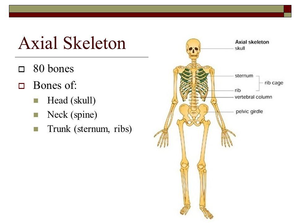Axial Skeleton  80 bones  Bones of: Head (skull) Neck (spine) Trunk (sternum, ribs)