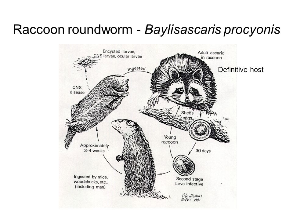 Raccoon roundworm - Baylisascaris procyonis Adults in intestines lay eggs