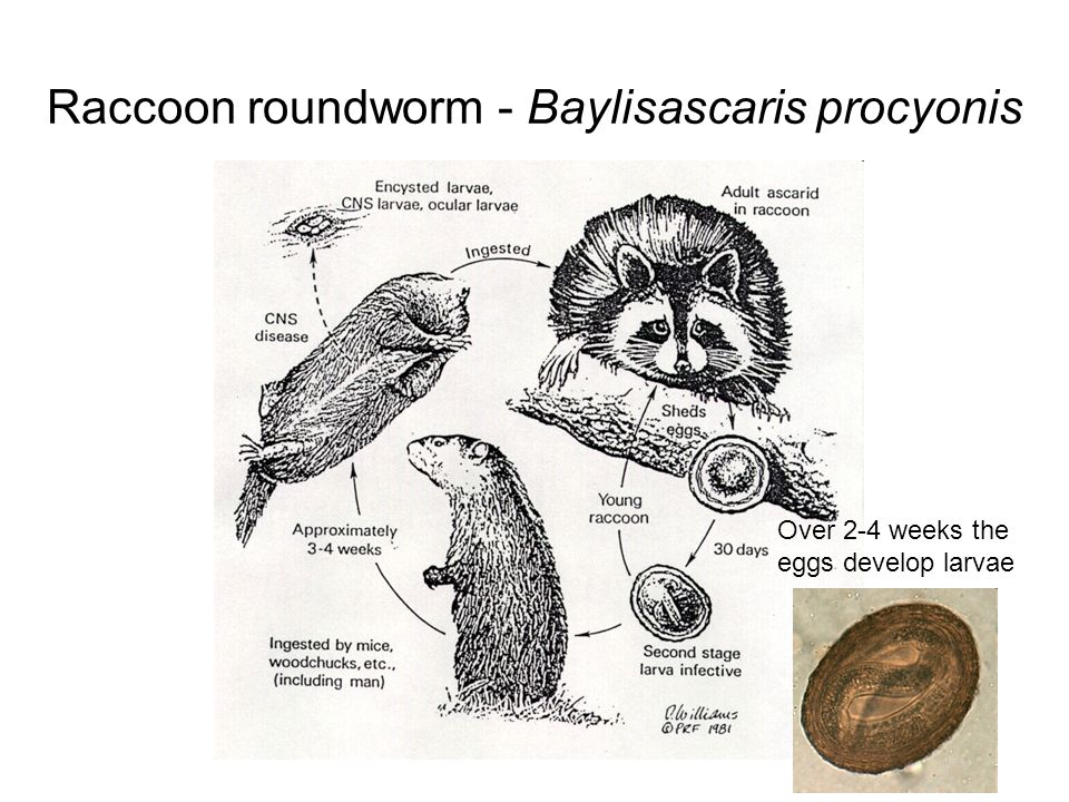 Raccoon roundworm - Baylisascaris procyonis Embryonated egg with larvae is ingested by raccoon