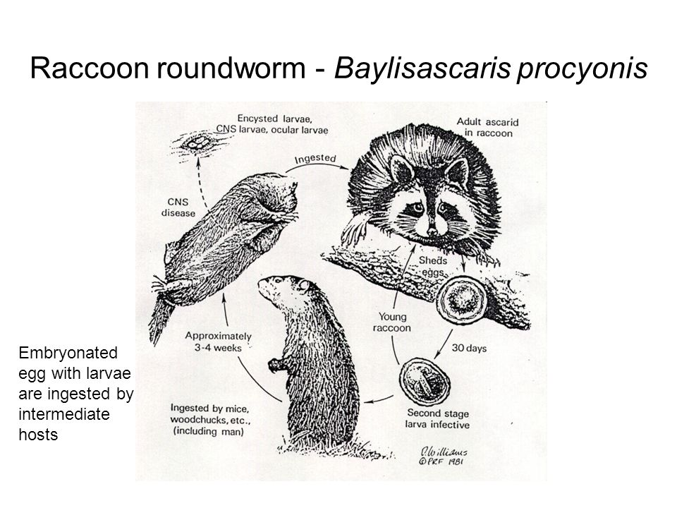Raccoon roundworm - Baylisascaris procyonis Eggs hatch and release larvae into intestines  gut wall  migrate thru the various tissue causing considerable damage and then encyst