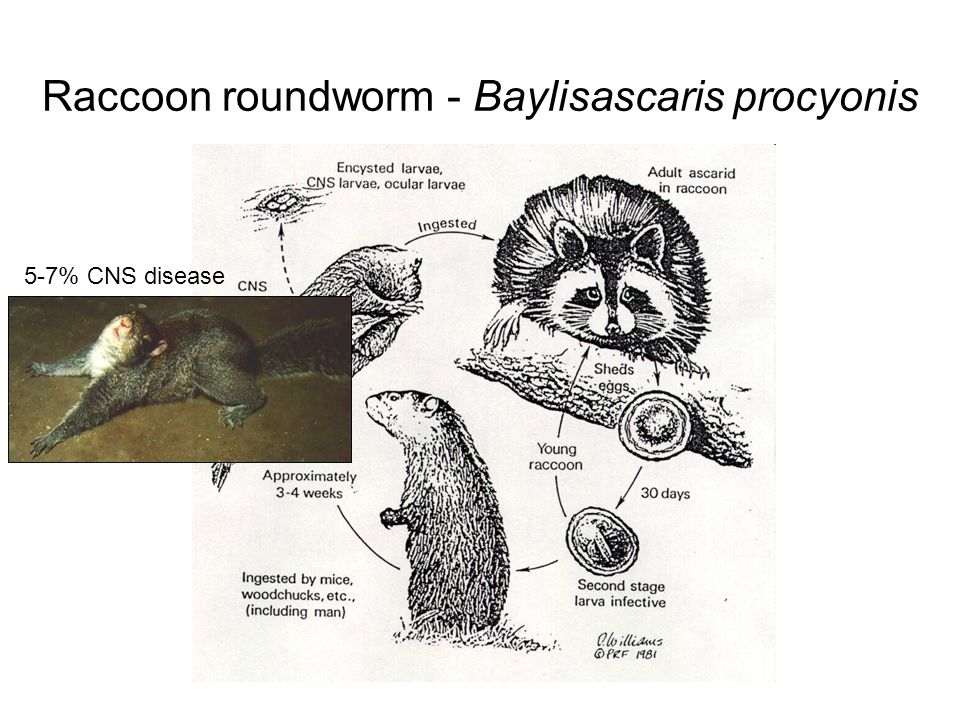 Raccoon roundworm - Baylisascaris procyonis Dead intermediate is scavenged by raccoon.