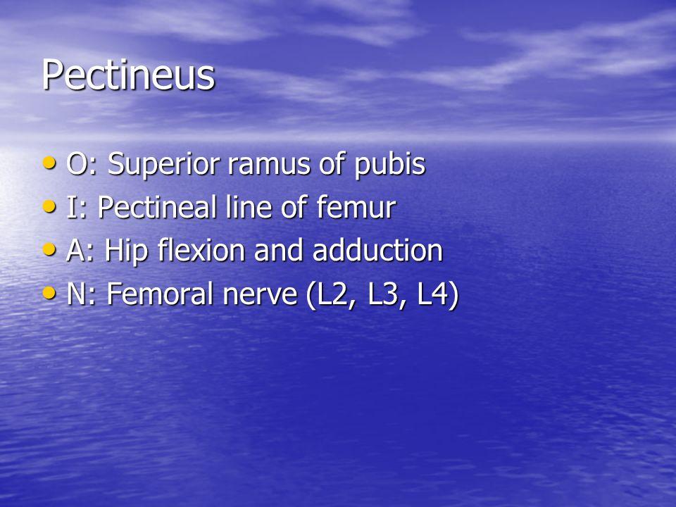 Pectineus O: Superior ramus of pubis O: Superior ramus of pubis I: Pectineal line of femur I: Pectineal line of femur A: Hip flexion and adduction A: