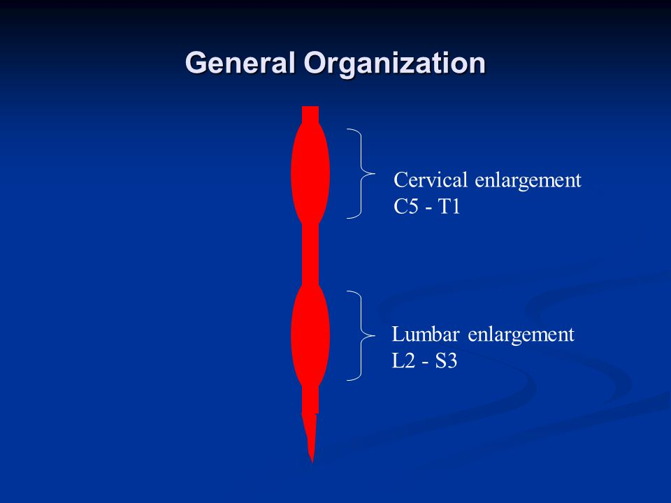 General Organization Cervical enlargement C5 - T1 Lumbar enlargement L2 - S3