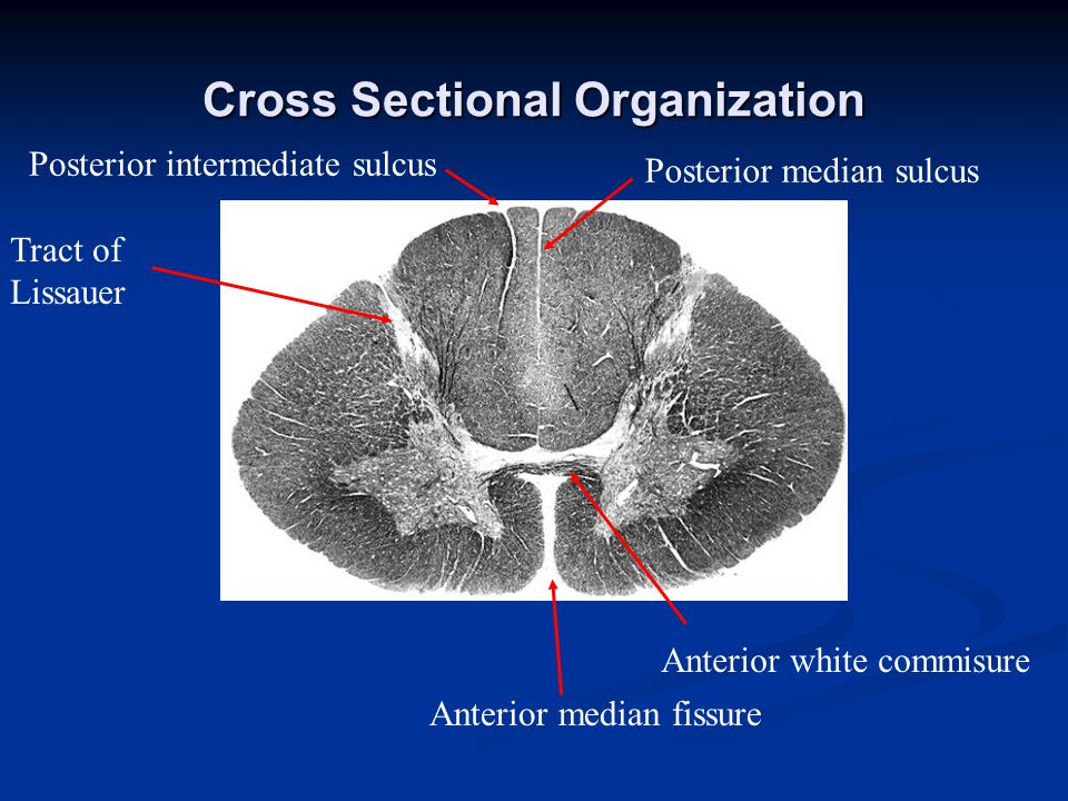 Cross Sectional Organization Anterior median fissure Anterior white commisure Posterior median sulcus Posterior intermediate sulcus Tract of Lissauer