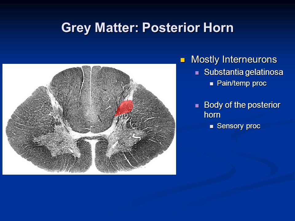 Grey Matter: Posterior Horn Mostly Interneurons Mostly Interneurons Substantia gelatinosa Substantia gelatinosa Pain/temp proc Pain/temp proc Body of the posterior horn Body of the posterior horn Sensory proc Sensory proc