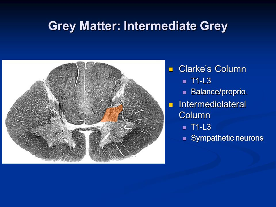 Grey Matter: Intermediate Grey Clarke's Column Clarke's Column T1-L3 T1-L3 Balance/proprio. Balance/proprio. Intermediolateral Column Intermediolatera
