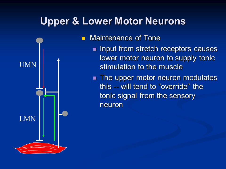 Upper & Lower Motor Neurons Maintenance of Tone Maintenance of Tone Input from stretch receptors causes lower motor neuron to supply tonic stimulation to the muscle Input from stretch receptors causes lower motor neuron to supply tonic stimulation to the muscle The upper motor neuron modulates this -- will tend to override the tonic signal from the sensory neuron The upper motor neuron modulates this -- will tend to override the tonic signal from the sensory neuron UMN LMN