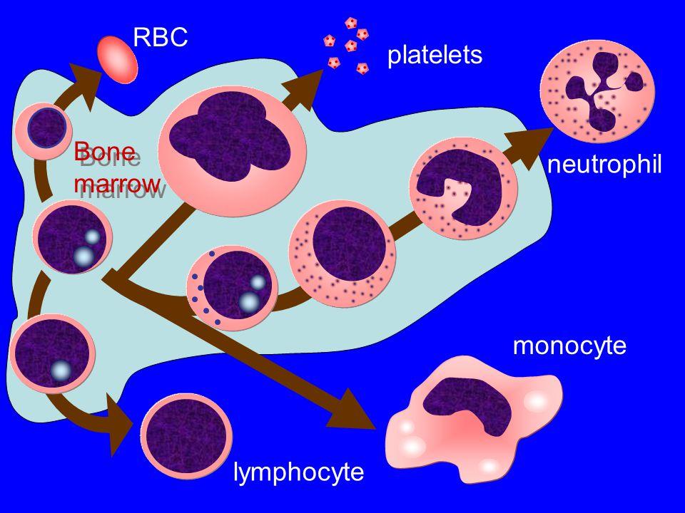 monocyte lymphocyte neutrophil platelets RBC Bone marrow Bone marrow