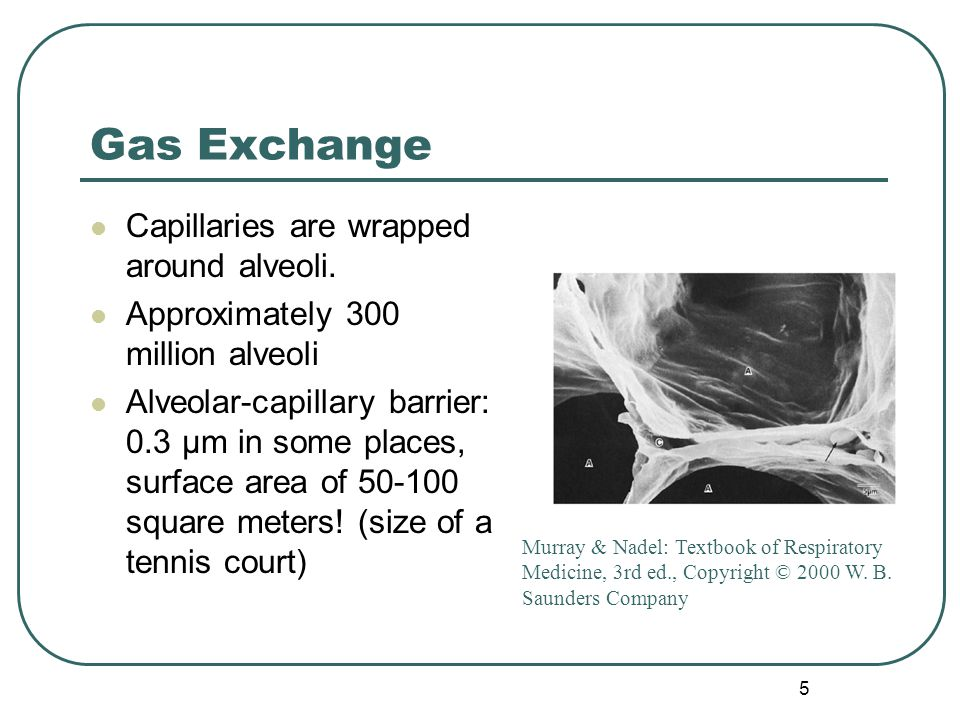 5 Gas Exchange Capillaries are wrapped around alveoli. Approximately 300 million alveoli Alveolar-capillary barrier: 0.3 μm in some places, surface ar