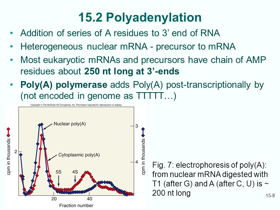 15-8 15.2 Polyadenylation Addition of series of A residues to 3' end of RNA Heterogeneous nuclear mRNA - precursor to mRNA Most eukaryotic mRNAs and precursors have chain of AMP residues about 250 nt long at 3'-ends Poly(A) polymerase adds Poly(A) post-transcriptionally by (not encoded in genome as TTTTT…) Fig.