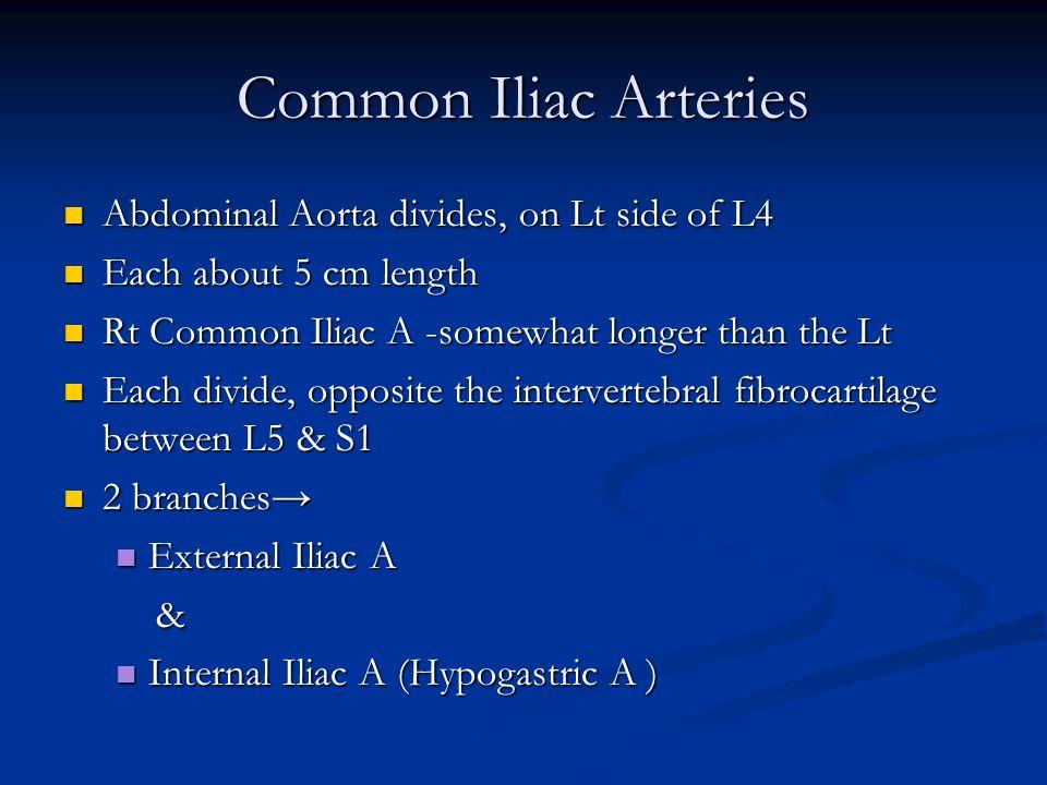 Common Iliac Arteries Abdominal Aorta divides, on Lt side of L4 Abdominal Aorta divides, on Lt side of L4 Each about 5 cm length Each about 5 cm length Rt Common Iliac A -somewhat longer than the Lt Rt Common Iliac A -somewhat longer than the Lt Each divide, opposite the intervertebral fibrocartilage between L5 & S1 Each divide, opposite the intervertebral fibrocartilage between L5 & S1 2 branches→ 2 branches→ External Iliac A External Iliac A & Internal Iliac A (Hypogastric A ) Internal Iliac A (Hypogastric A )