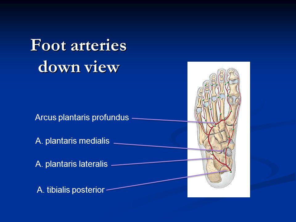 Foot arteries down view A.tibialis posterior A. plantaris lateralis A.