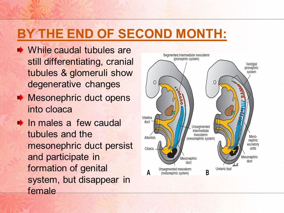 BY THE END OF SECOND MONTH: While caudal tubules are still differentiating, cranial tubules & glomeruli show degenerative changes Mesonephric duct opens into cloaca In males a few caudal tubules and the mesonephric duct persist and participate in formation of genital system, but disappear in female