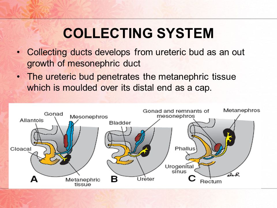COLLECTING SYSTEM Collecting ducts develops from ureteric bud as an out growth of mesonephric duct The ureteric bud penetrates the metanephric tissue which is moulded over its distal end as a cap.