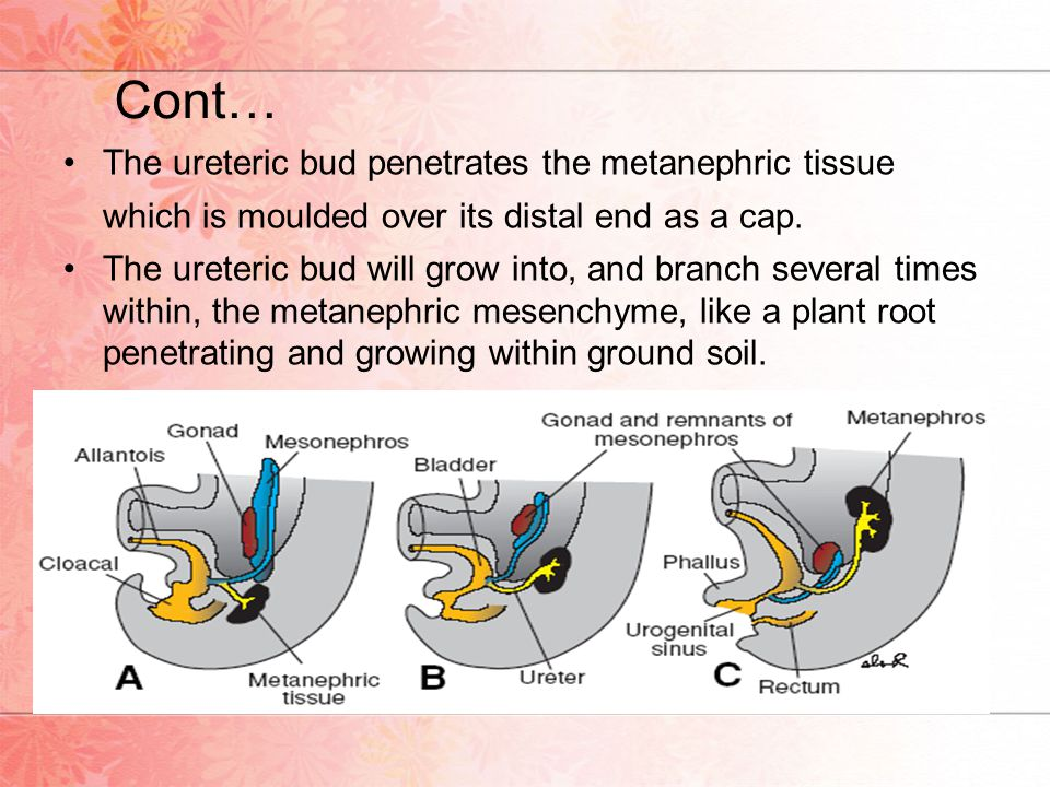 The ureteric bud will grow into, and branch several times within, the metanephric mesenchyme, like a plant root penetrating and growing within ground soil.