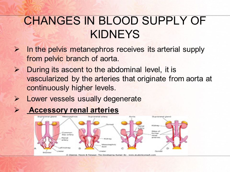 CHANGES IN BLOOD SUPPLY OF KIDNEYS  In the pelvis metanephros receives its arterial supply from pelvic branch of aorta.