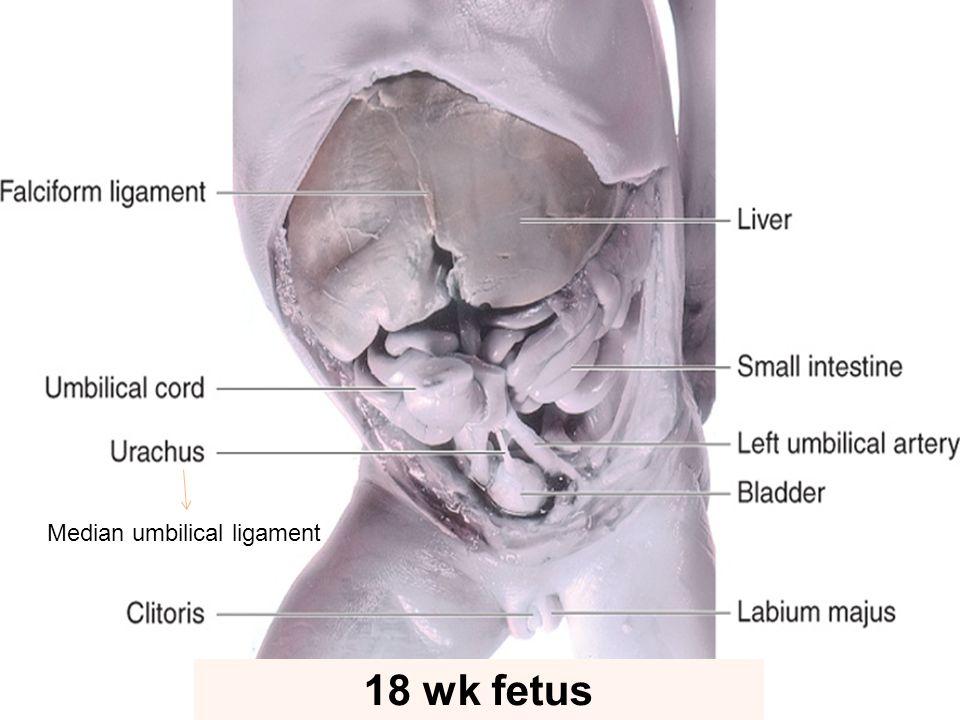 18 wk fetus Median umbilical ligament