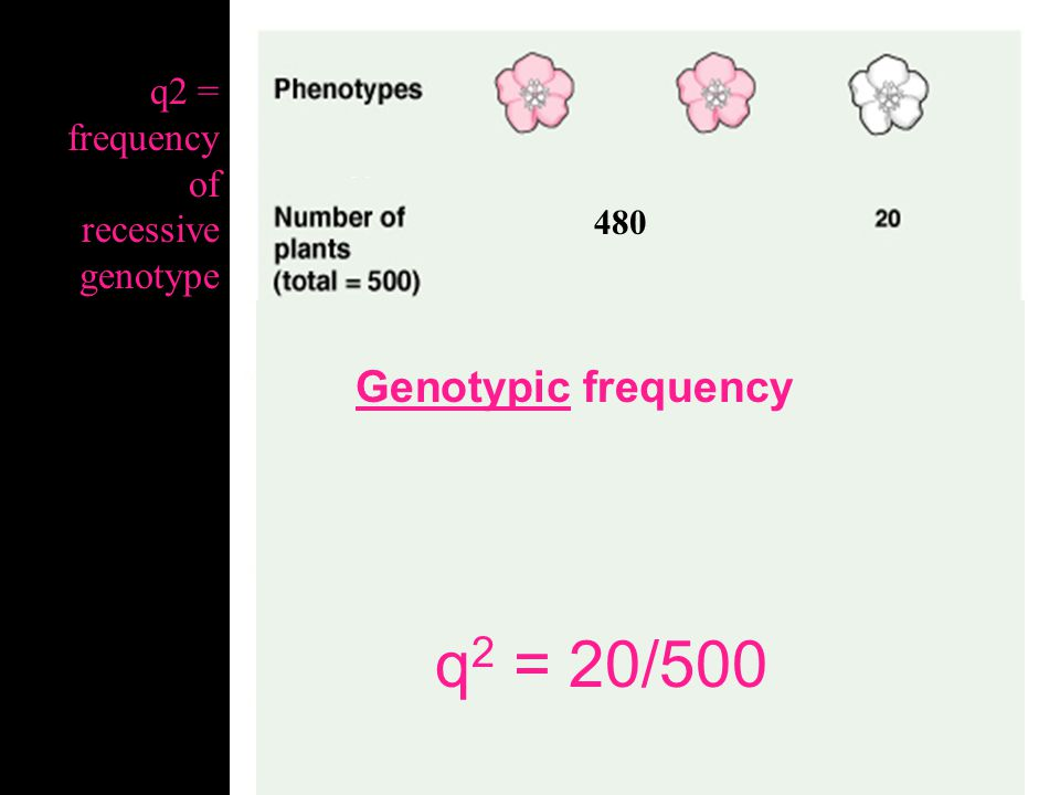 480 Allele frequency Pssst…(There are 1,000 copies of the flower color gene in this population of 500 total flowers…) q = q = frequency of recessive allele However, we do not know how many a's there are just by looking at phenotype