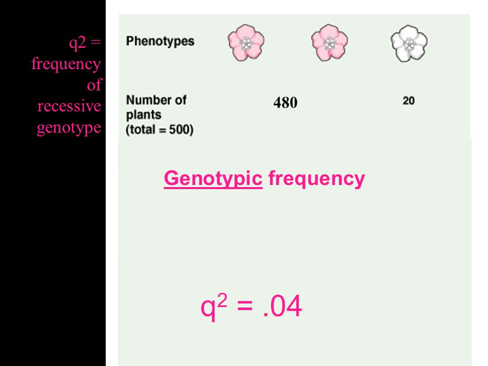 480 Genotypic frequency q 2 = 20/500 q2 = frequency of recessive genotype