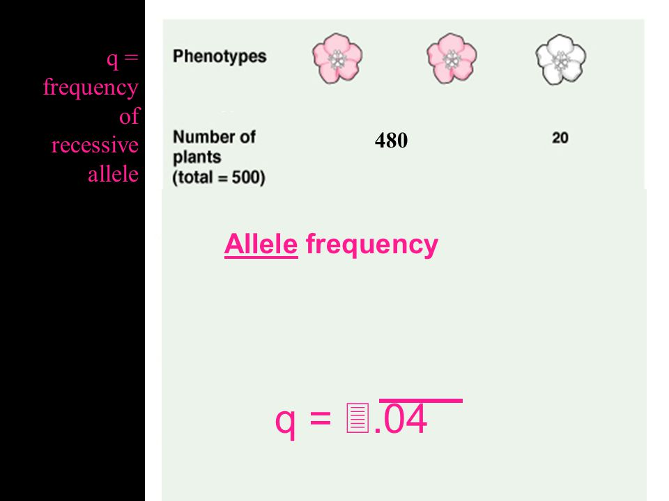 480 Genotypic frequency q 2 =.04 q2 = frequency of recessive genotype