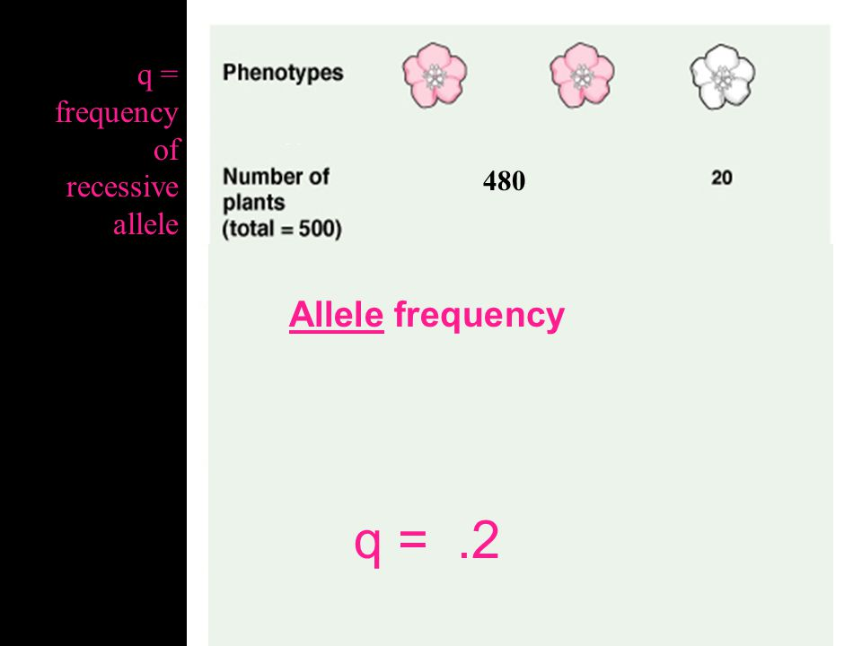 480 Allele frequency q = .04 q = frequency of recessive allele