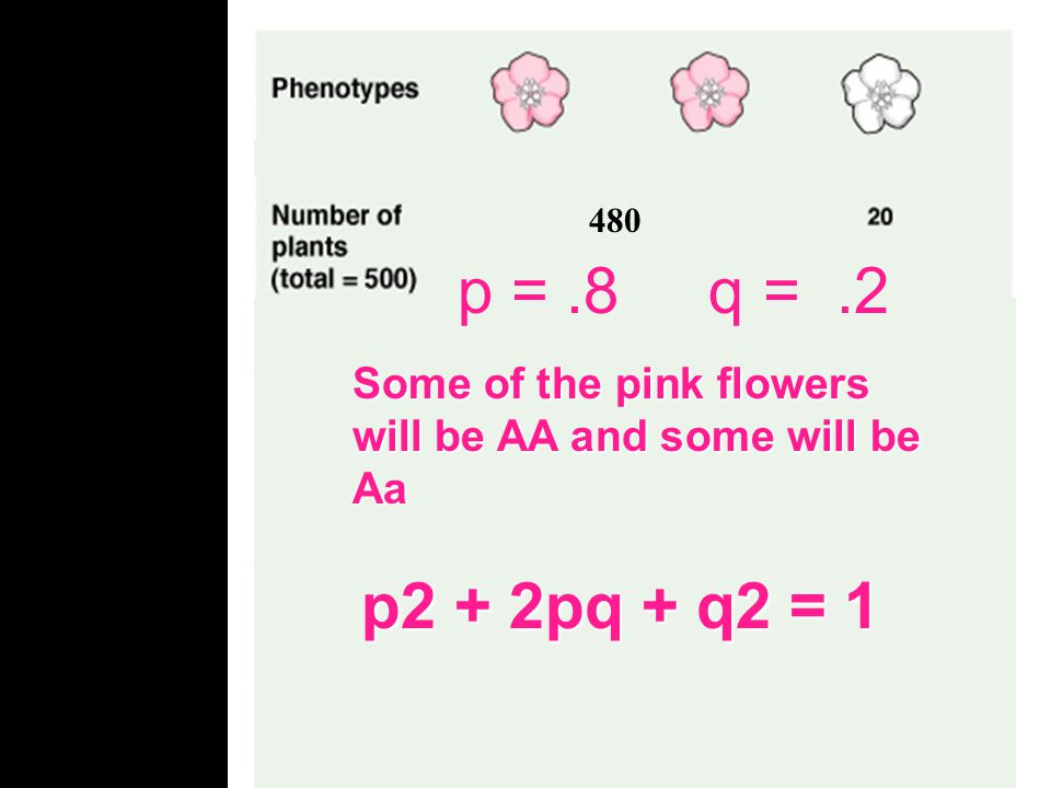 480 Allele frequency q =.2 q = frequency of recessive allele p = frequency of dominant allele p + q = 1 p +.2 = 1 p = 1 -.2 p =.8