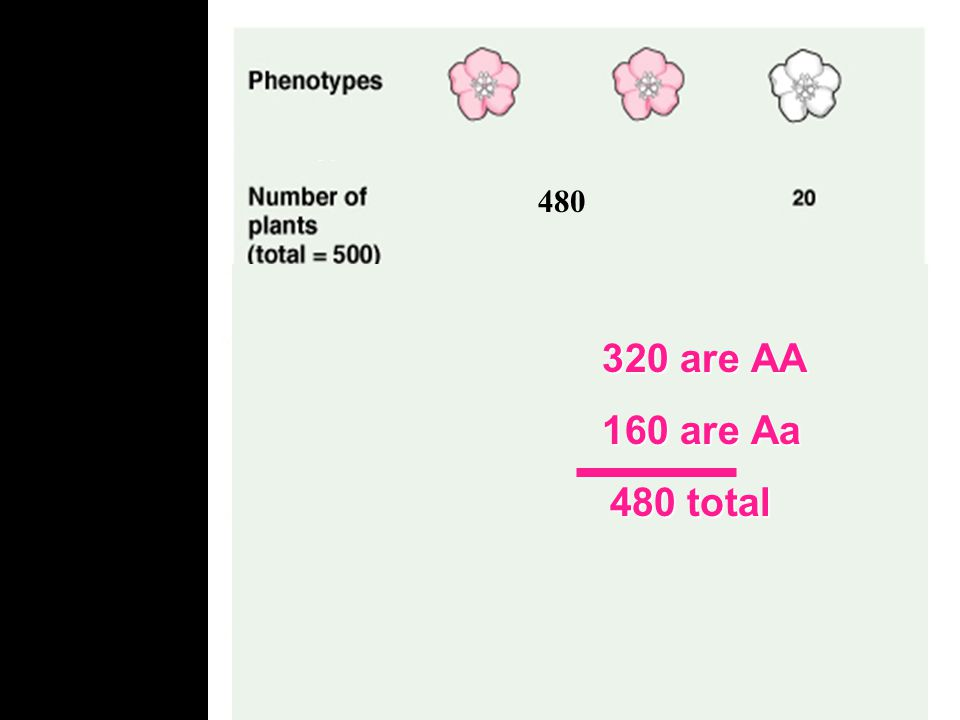 480 How many of the pink flowers will be AA and how many will be Aa.32 X 500 individuals 160 individuals are Aa