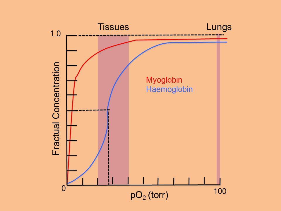 1.0 100 0 Myoglobin Haemoglobin pO 2 (torr) Fractual Concentration TissuesLungs