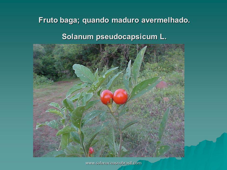 www.solanaceasnobrasil.com Fruto baga; quando maduro avermelhado. Solanum pseudocapsicum L.