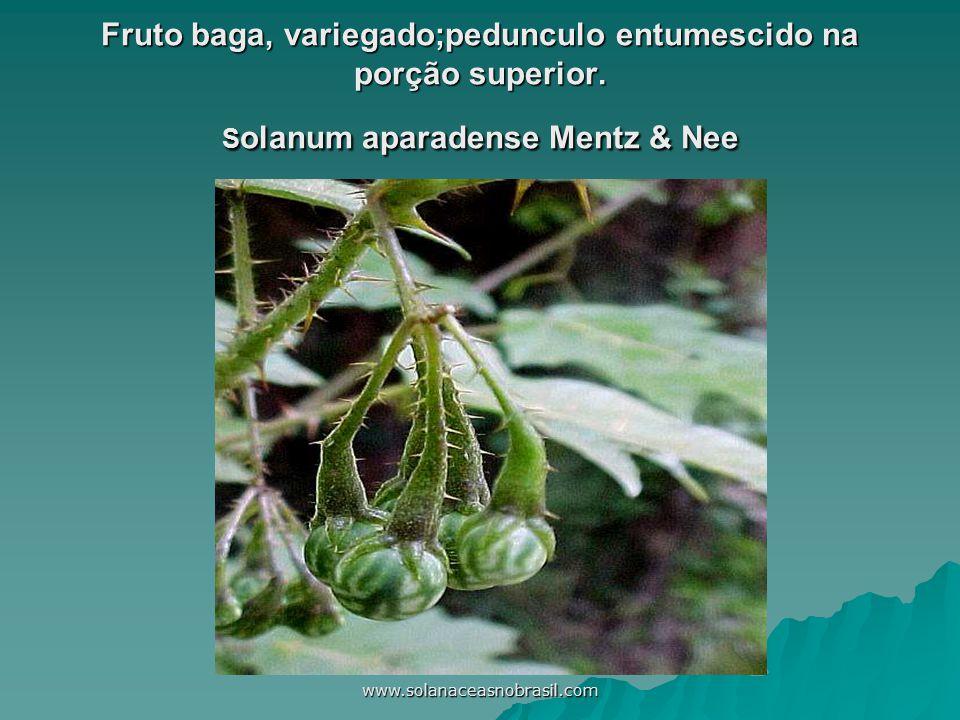 www.solanaceasnobrasil.com Fruto baga, variegado;pedunculo entumescido na porção superior. S olanum aparadense Mentz & Nee