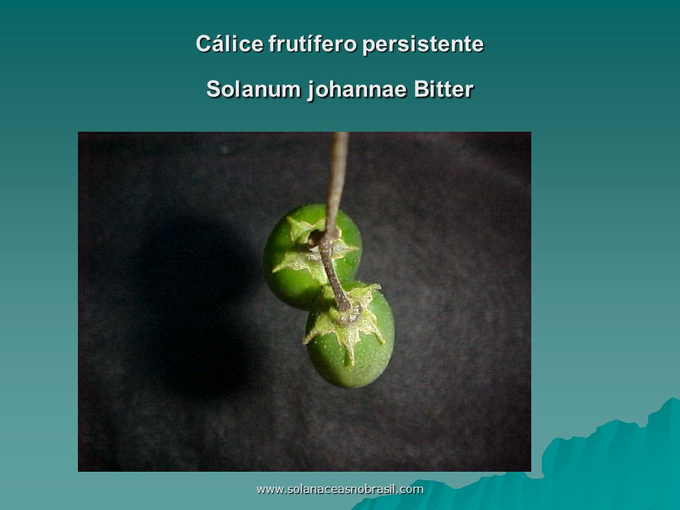 www.solanaceasnobrasil.com Cálice frutífero persistente Solanum johannae Bitter