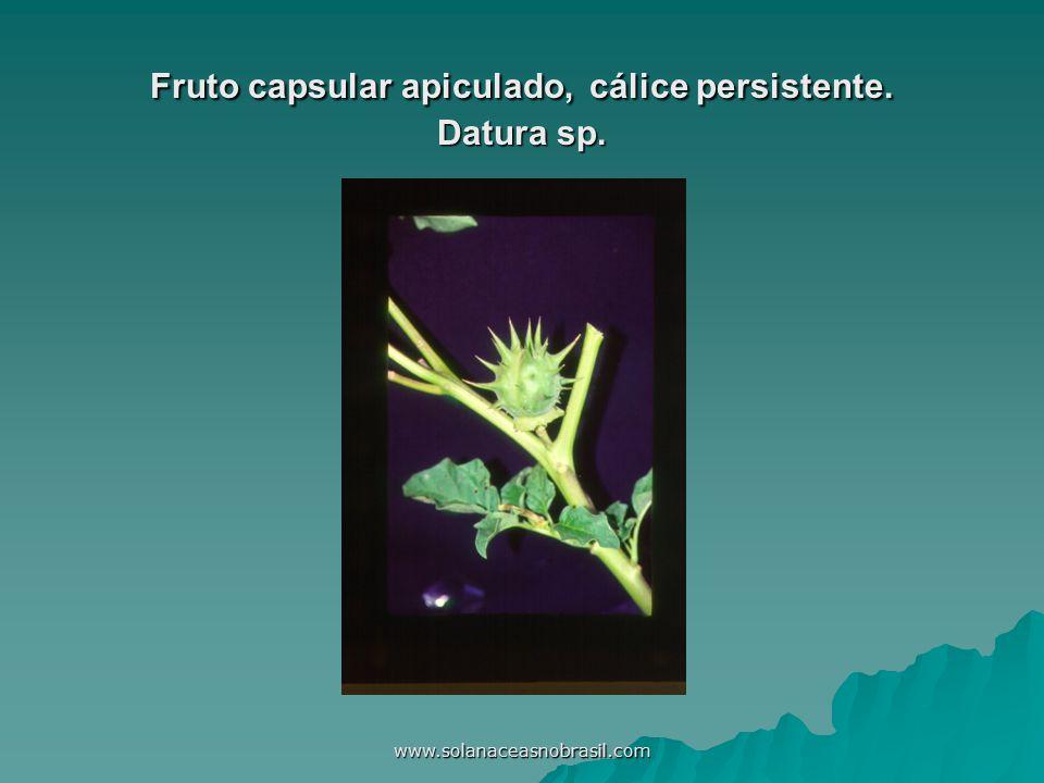 www.solanaceasnobrasil.com Fruto capsular apiculado, cálice persistente. Datura sp.