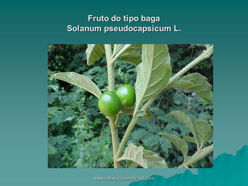www.solanaceasnobrasil.com Fruto do tipo baga Solanum pseudocapsicum L.
